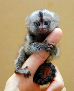 A Finger Monkey